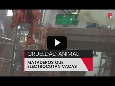 Embedded thumbnail for Video: Crueldad Animal: Mataderos que electrocutan Vacas